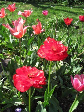 tulip5